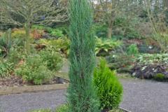 Juniperus-scopulorum-Blue-Arrow6-1024x1024