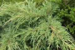 juniperus-media-pfitzeriana-compacta-3