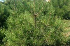Pinus-nigra-pallasiana-standart-900x900