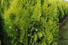 full_platycladus-orientalis-aurea-nana-4