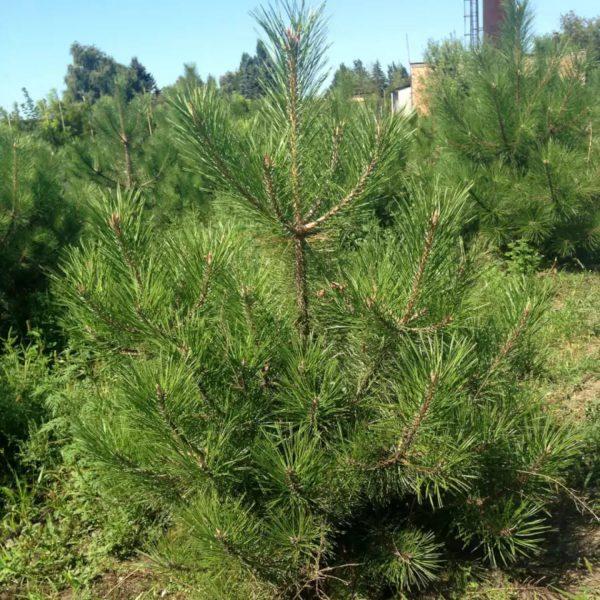 Pinus-nigra-pallasiana-standart-900×900
